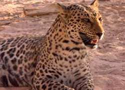 Close up of an African Leopard in Israel